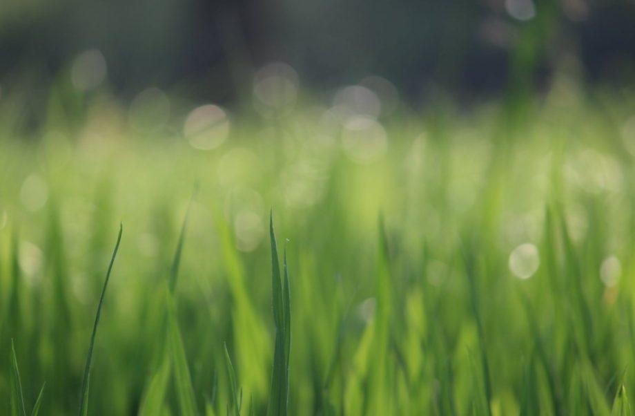 Dlaczego nawóz do trawy nie będzie dobry dla rośliny kwitnącej?